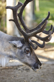 Wild reindeer head detail in the forest. Animal background. Finland.
