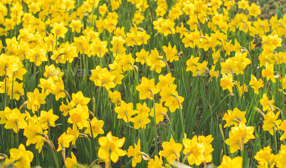Spring blooming yellow daffodils or narcissuses - Stock Photo - Images