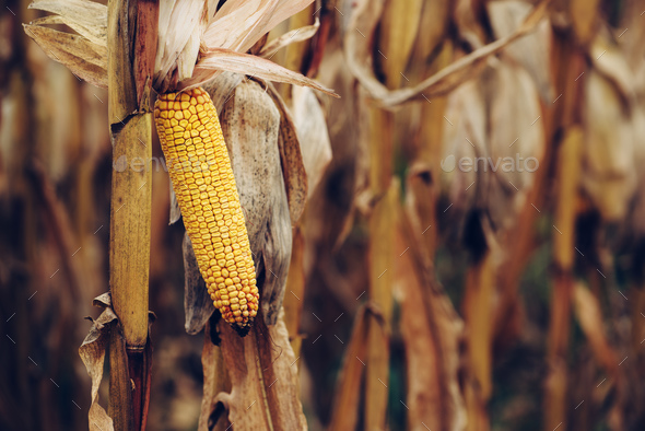 Ripe yellow ear of corn on the cob - Stock Photo - Images