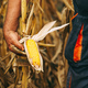 Farmer agronomist holding corn ear on the cob - PhotoDune Item for Sale
