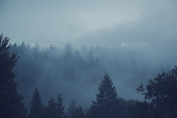 Misty forest of evergreen coniferous trees - Stock Photo - Images