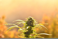 Cannabis bud, lit by warm early morning light - PhotoDune Item for Sale