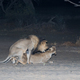 Lions Mating at Night - PhotoDune Item for Sale