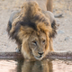 Male Lion Drinking - PhotoDune Item for Sale