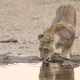 Lioness Drinking - PhotoDune Item for Sale