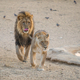 Courting Lions - PhotoDune Item for Sale