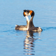 Pair of Great Crested Grebes - PhotoDune Item for Sale