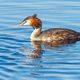 Great Crested Grebe - PhotoDune Item for Sale