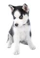 siberian husky puppy - PhotoDune Item for Sale