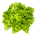 Escarole endive lettuce head from above over white - PhotoDune Item for Sale