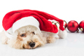 Adorable poodle dog in santa costume posing with Christmas ornam