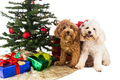 Cute poodle puppies in Santa hat with Chrismas tree and gifts.
