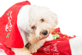 Adorable poodle dog in santa costume posing with Christmas ornam - PhotoDune Item for Sale