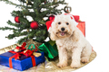 Smiling poodle puppy in Santa hat with Chrismas tree and gifts.