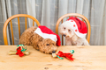 Concept of excited dogs on Santa hat with Christmas gift on tabl