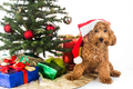 Cute poodle puppy in Santa hat with Chrismas tree and gifts.