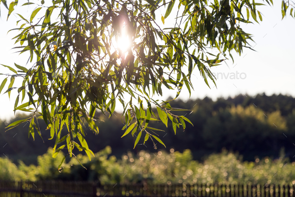 Leaves in sunset light - Stock Photo - Images