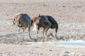 Three ostriches drinking water at a waterhole in Northern Namibia - PhotoDune Item for Sale
