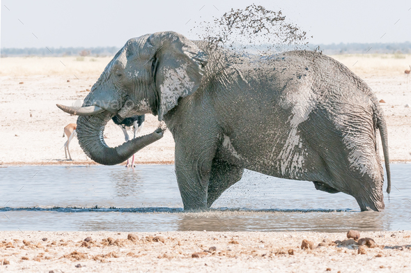 African elephant taking a mud bath at a waterhole - Stock Photo - Images
