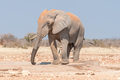 African elephant, Loxodonta africana, covered with red sand - PhotoDune Item for Sale