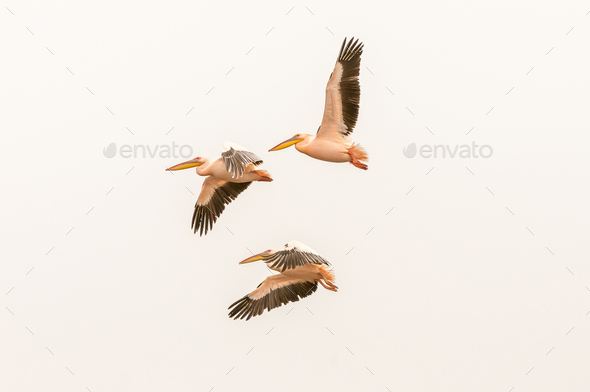 Great white pelicans flying at the lagoon in Walvis Bay - Stock Photo - Images