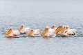 Great white pelicans swimming in formation - PhotoDune Item for Sale