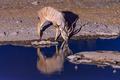 Kudu drinking water at waterhole during blue hour