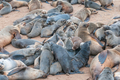 Creche of Cape Fur Seal pups at Cape Cross - PhotoDune Item for Sale