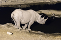 Black rhinoceros at artificially lit waterhole after sunset