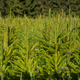 Fir tree nursery, young spruce growing. Fir cultivation - PhotoDune Item for Sale