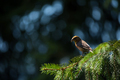 Red crossbill (Loxia curvirostra) a small passerine bird on a fir tree - PhotoDune Item for Sale