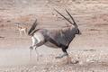 An Oryx, Oryx gazella, also called a gemsbok, running - PhotoDune Item for Sale