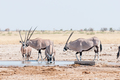 Oryx drinking water at a waterhole in Northern Namibia - PhotoDune Item for Sale