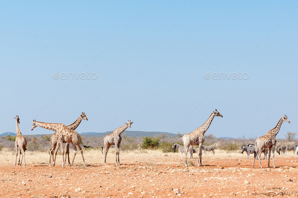 Giraffes and Burchells Zebras - Stock Photo - Images