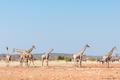 Giraffes and Burchells Zebras - PhotoDune Item for Sale