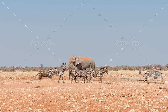 African elephant and muddy Hartmann Mountain Zebras - Stock Photo - Images