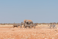 African elephant and muddy Hartmann Mountain Zebras - PhotoDune Item for Sale