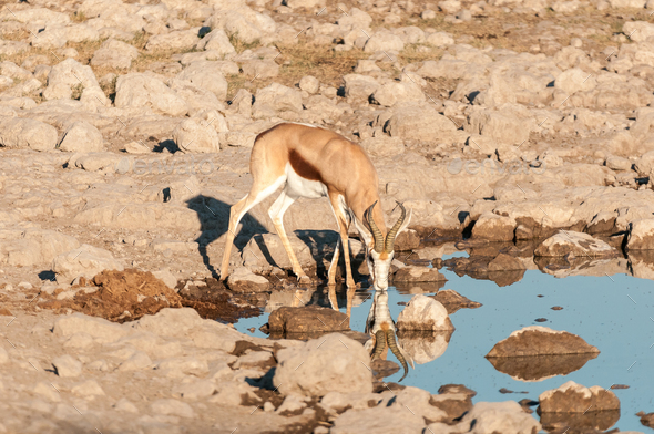 A springbok with reflections drinking water - Stock Photo - Images