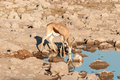 A springbok with reflections drinking water - PhotoDune Item for Sale