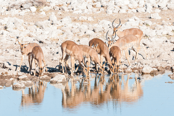 Herd of impalas (Aepyceros melampus) drinking water at a waterhole - Stock Photo - Images
