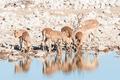 Herd of impalas (Aepyceros melampus) drinking water at a waterhole