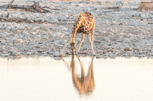 Namibian giraffe drinking water at a waterhole at sunset - Stock Photo - Images