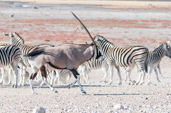 An oryx or gemsbok, running past Burchells zebras - Stock Photo - Images