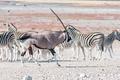 An oryx or gemsbok, running past Burchells zebras - PhotoDune Item for Sale