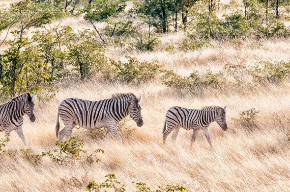 Burchells zebras walking in a grass and mopani shrub landscape - Stock Photo - Images