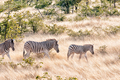 Burchells zebras walking in a grass and mopani shrub landscape - PhotoDune Item for Sale