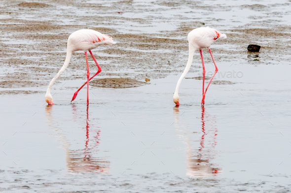 Greater Flamingos feeding in the lagoon at Walvis Bay - Stock Photo - Images