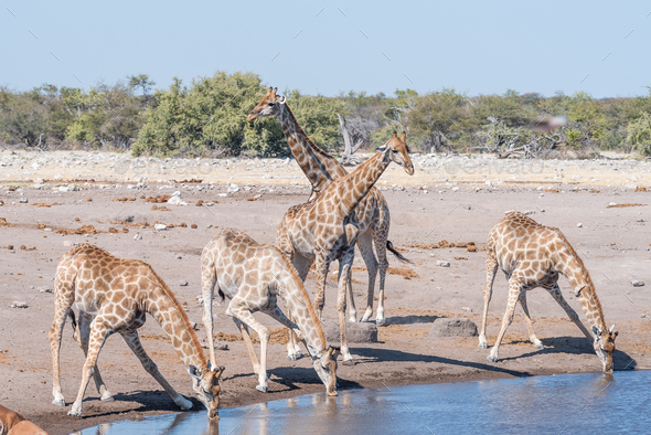 Namibian giraffes drinking water at a waterhole - Stock Photo - Images