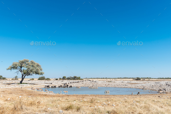 Burchells zebras, blue wildebeest and springbok drinking water - Stock Photo - Images