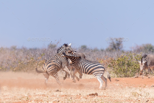 Three Burchells Zebra stallions fighting - Stock Photo - Images